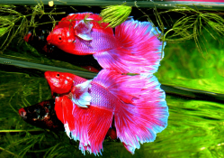 Most Beautiful Betta Fish in The World