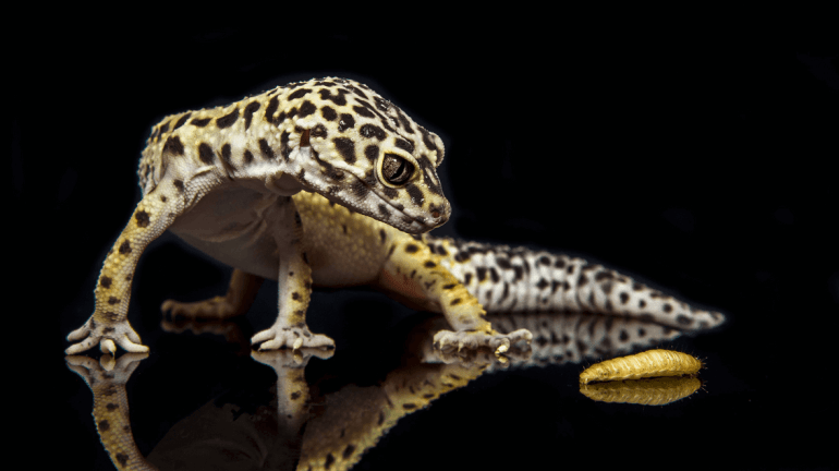 leopard gecko lifespan captivity