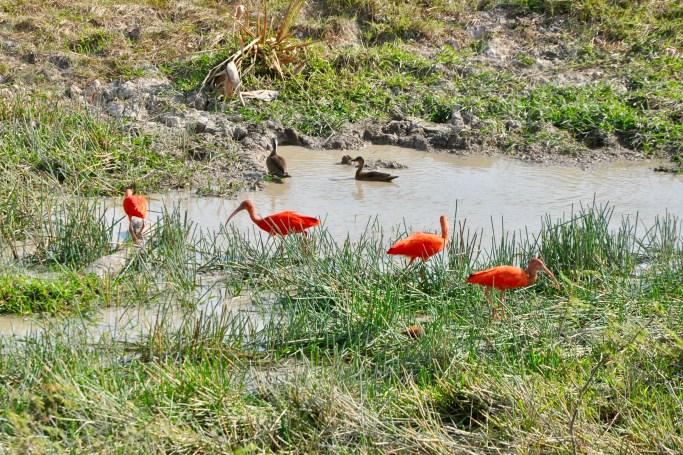 Corocora roja / Ibis escarlata
