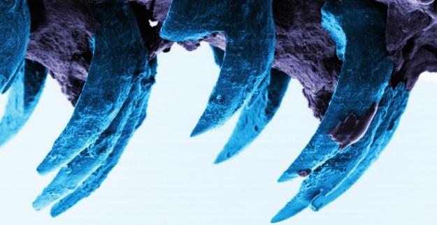 Limpet teeth 2
