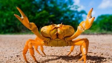 Photo of Cangrejo mutante: descubrieron una especie hembra que se clona a sí misma