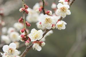 再生の計画霊界・梅の花