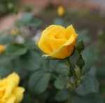 世間愛・黄色いバラ