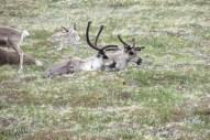 Kungsleden deer