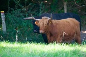 Schotse runderen