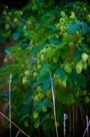 Hopbloemen