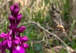 le shinx colibri en approche