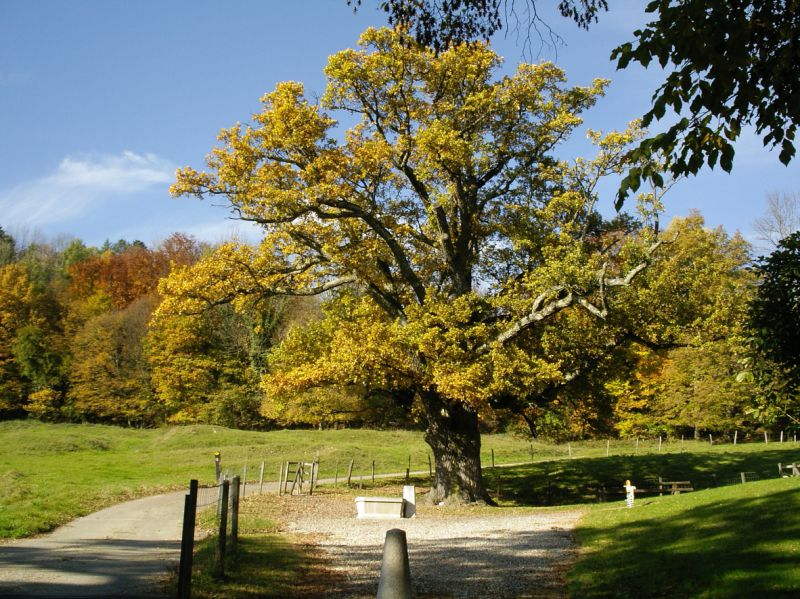 la beauté d'un vieux chêne au milieu de la nature en campagne jurassienne