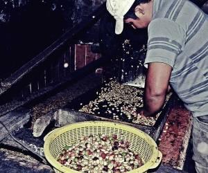 proceso cafe, familia productora, Caficultores,agricultores, Café Las Margaritas Especial Tipo Exportación, Vendedores de Café Colombiano, café origen