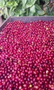 Granos rojos, café origen, de finca, las margaritas