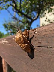 夏の証し、蝉の抜け殻