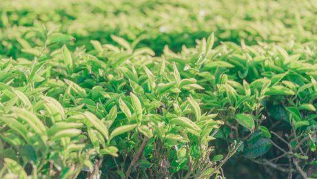planta camellia sinensis