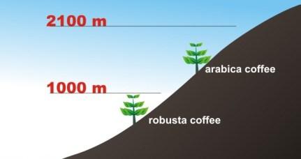 Arabica Robusta altitude