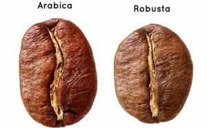 Arabica VS Robusta 1