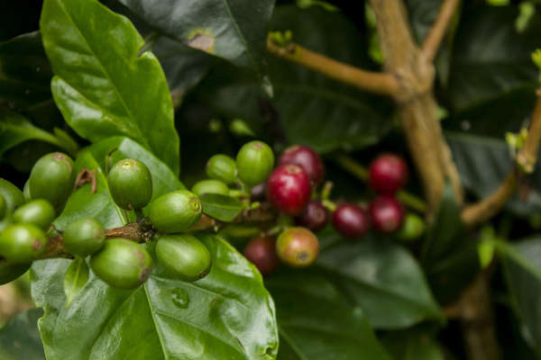 Le drupe della pianta del caffè