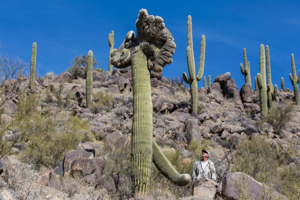 Picture of Crested Saguaro