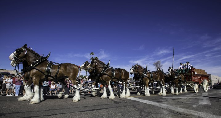 The Clydesdale hitch came to Wickenburg for the parade.