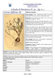 Scheda di Botanica N. 39 Crocus biflorus fg. 1 - Piera, Emilio