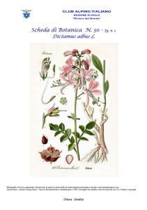 Scheda n. 30 - Dictamus albus 2