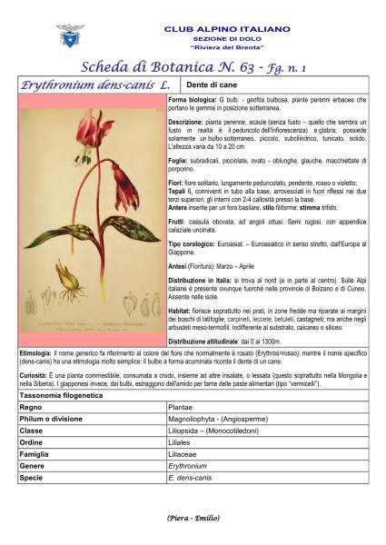 Scheda di Botanica N. 63 Erythronium-dens-canis fg 1 Piera, Emilio