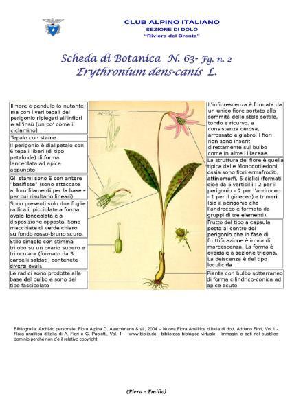 Scheda di Botanica N. 63 Erythronium-dens-canis fg 2 Piera, Emilio