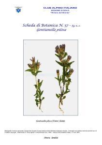 Scheda di Botanica N. 57 Gentianella pilosa fg. 2 - Piera, Emilio