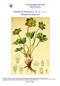 Hacquetia epipatics fg. 2