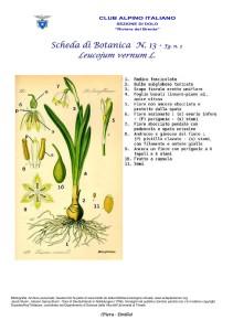 Leucojum vernum fg. 2