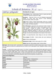 Ophrys sphegodes fg. 1