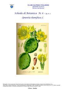 Opuntia humifusa fg. 2