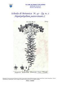 SCHEDA N. 42 Haplophyllum patavinum L. fg 2 - Piera, Emilio