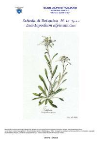 Stella alpina fg. 2