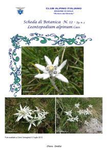 Stella alpina fg. 3