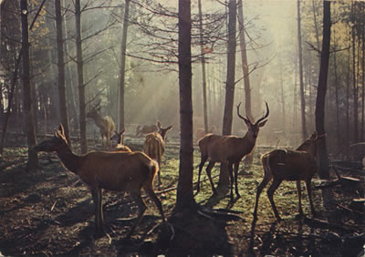 Deer herd of the Cailleach