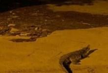 تمساح كبير يثير الذعر في شوارع أكتوبر