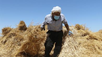 الإرشاد الزراعي يصدر توصيات فنية لمزارعي القمح