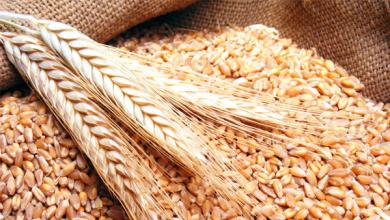 استلام القمح من المزارعين في كفر الشيخ