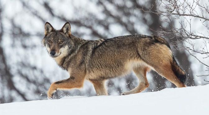 Sulle tracce del lupo
