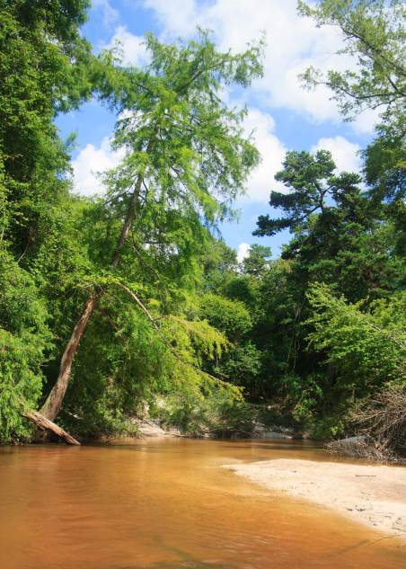 Walking downstream; the creek is typically cool and clear, but can be a raging river after heavy rains. The cypress tree. leaning to the right, shows the force of the river when the creek is flooded.