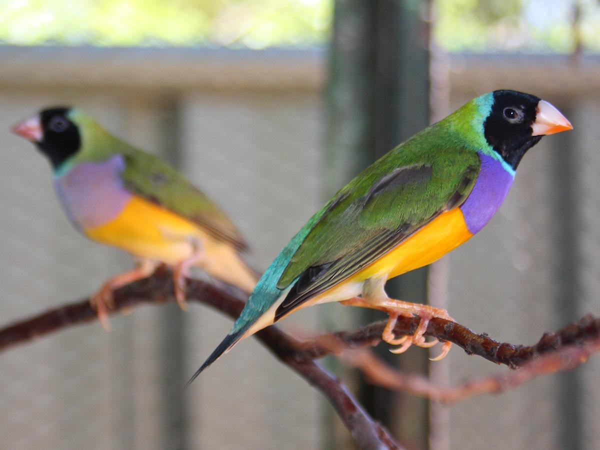 Field Trip Worksheet Gouldian Finch Behavior