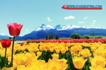 Tulipans in Patagonia Argentina