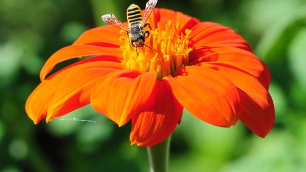 Megachile fidelis on Mexican sunflower