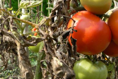 jardinage septembre tomates
