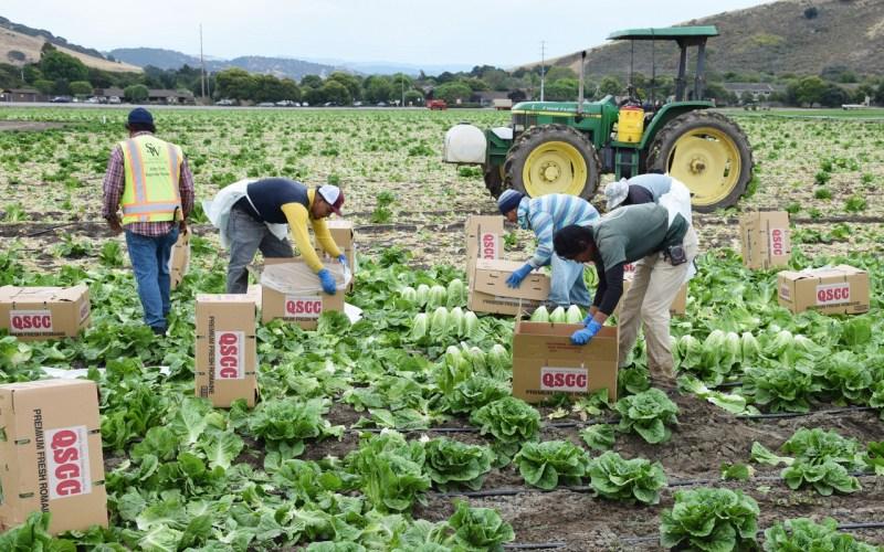 Salinas, CA - USA; July 1, 2015: Seasonal field workers cut and box romaine lettuce.
