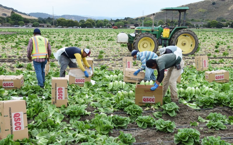 Salinas, CA - USA; July 1, 2015: Seasonal field workers cut and box romaine lettuce.