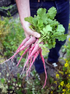 Pepper Creek Farms French Radishes by Liz Dodder