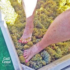 Grape Stomp in Solvang, Santa Ynez Valley, Santa Barbara County