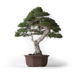 Specimen Bonsai Trees