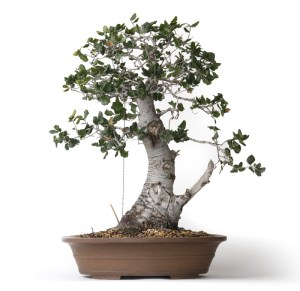 Oak-Bonsai Tree