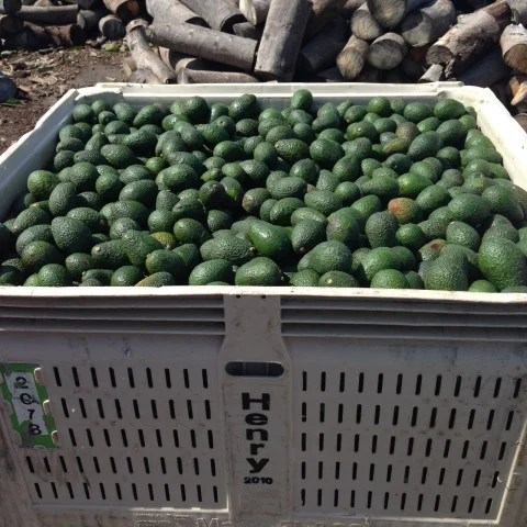 Avocados ready for market.